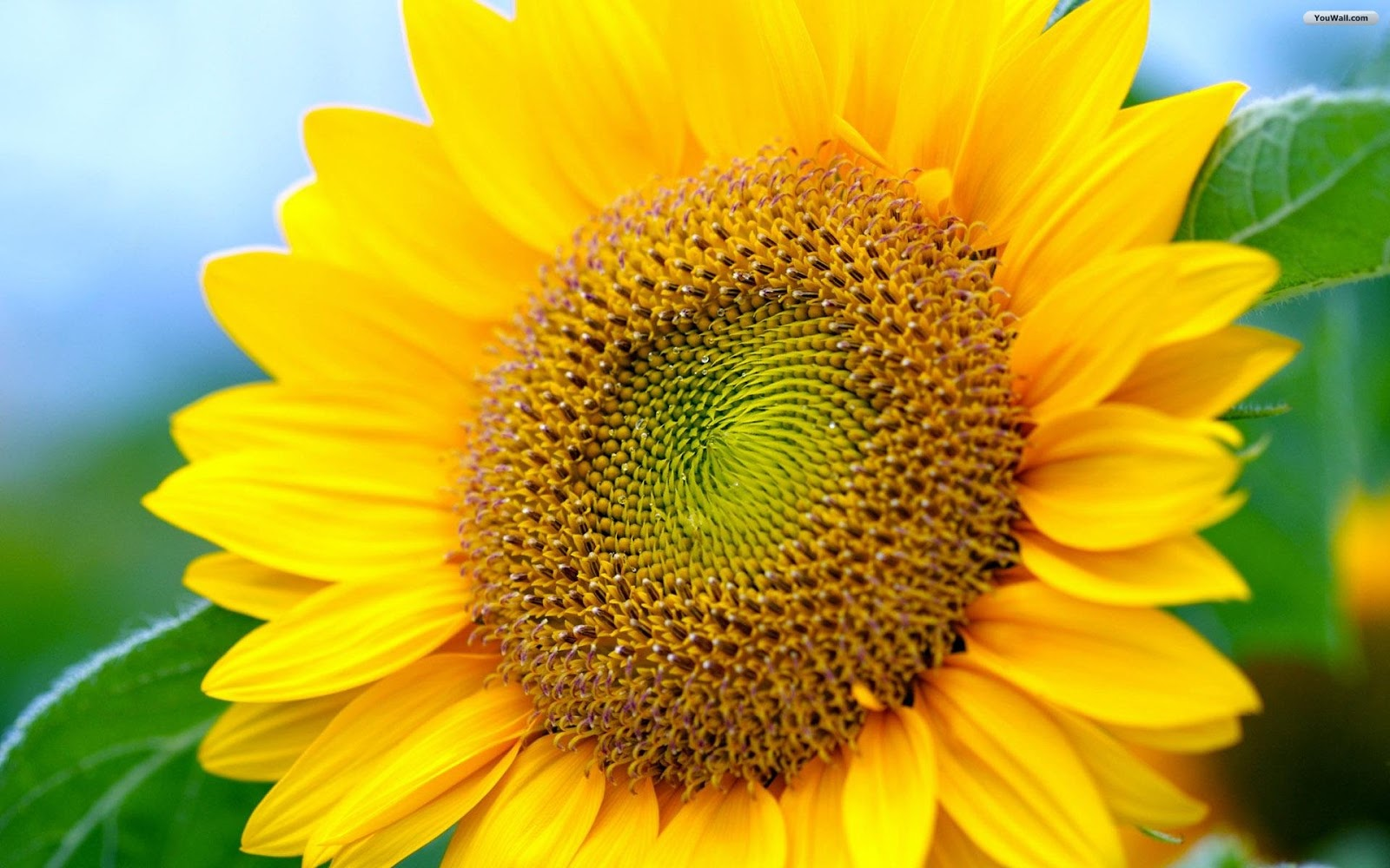 70+ Sunflower Background on WallpaperSafari