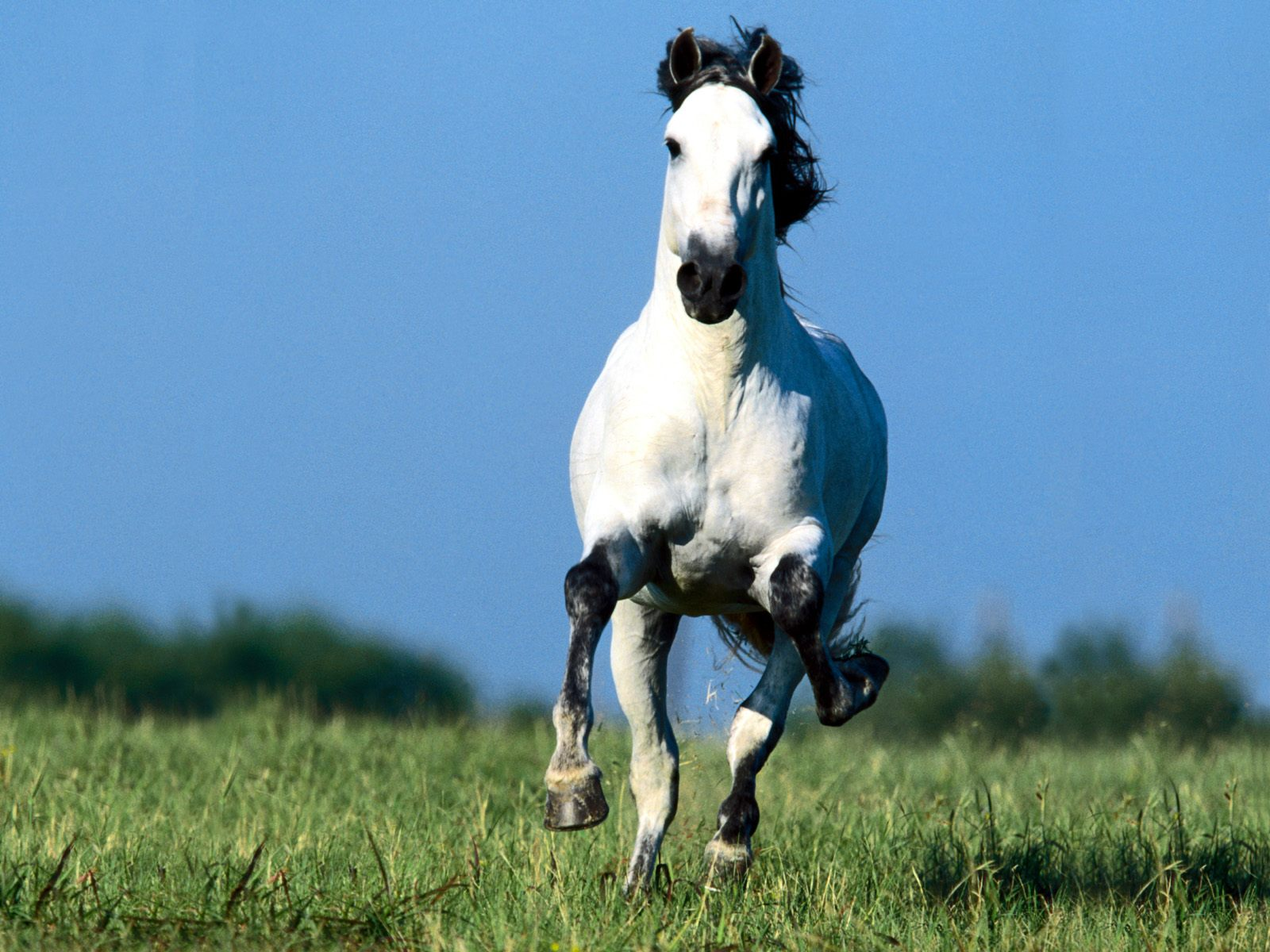 Running Horse Wallpapers White Horses Running Wallpapers for Desktop 1600x1200