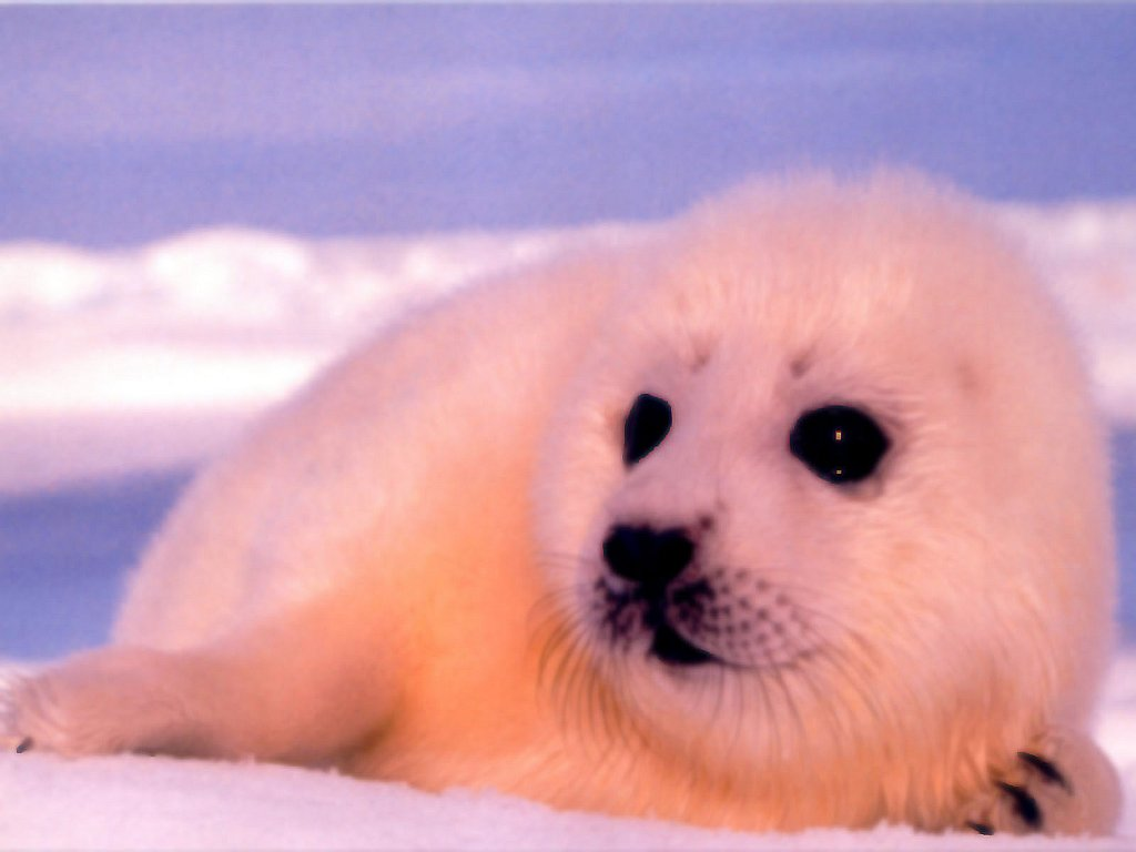 Animals Baby Animal Seal 1024x768