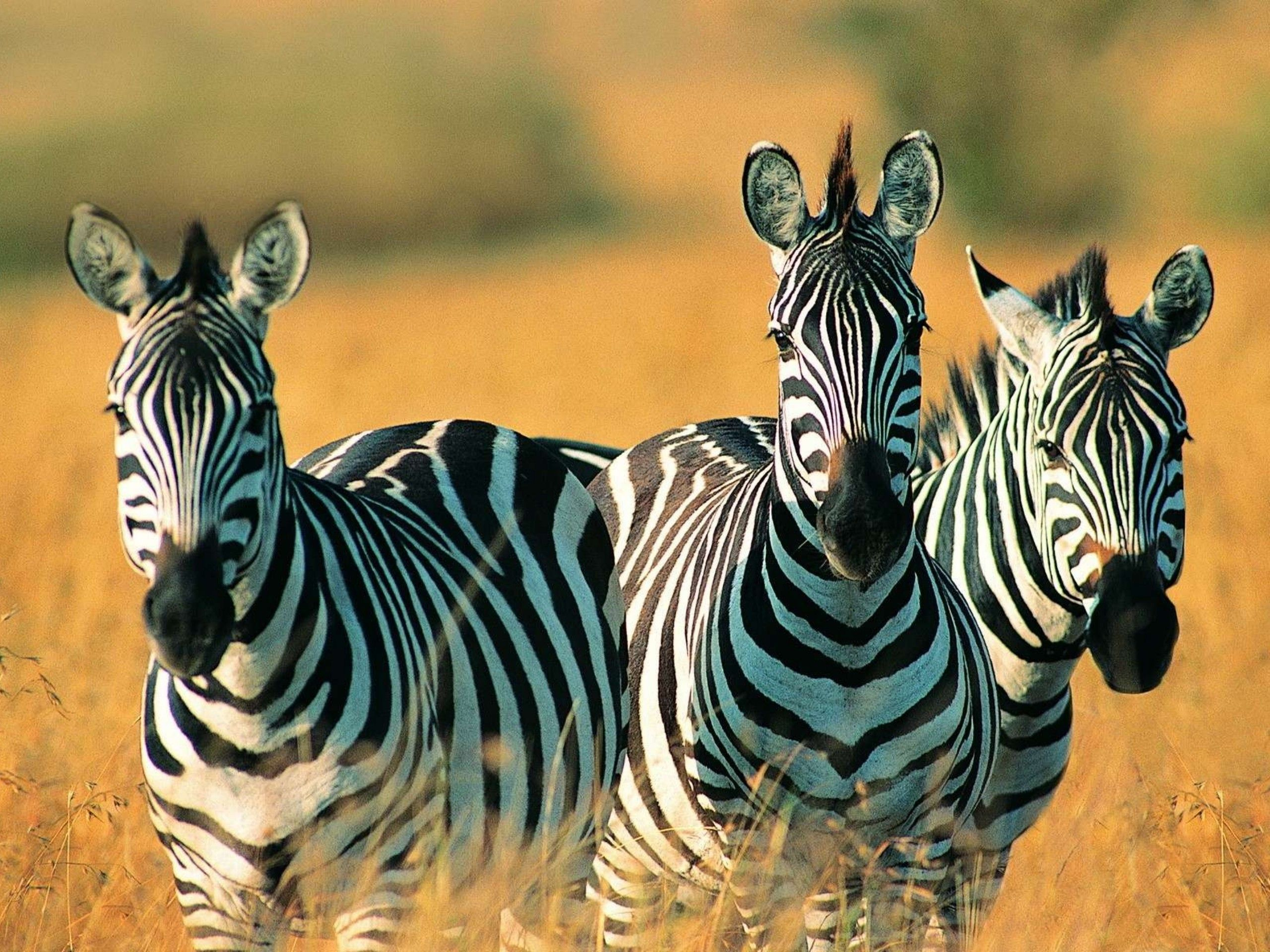 Cute Zebras Wallpapers Wide with Wallpaper High Resolution 2560x1920