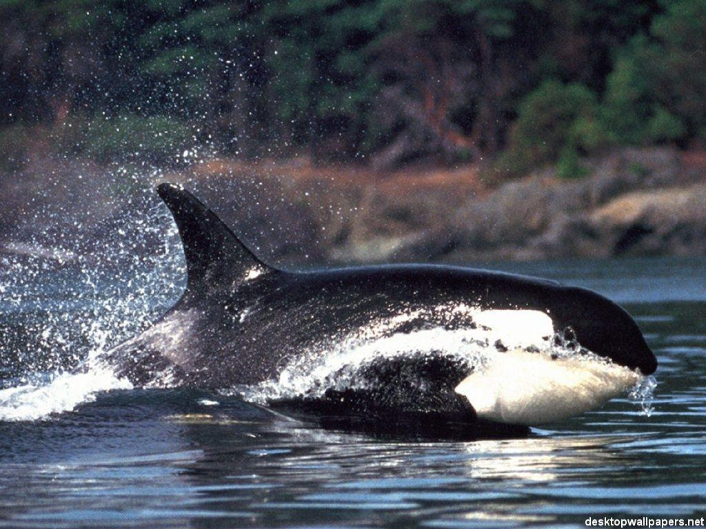 Killer Whale Wallpapers 1024x768