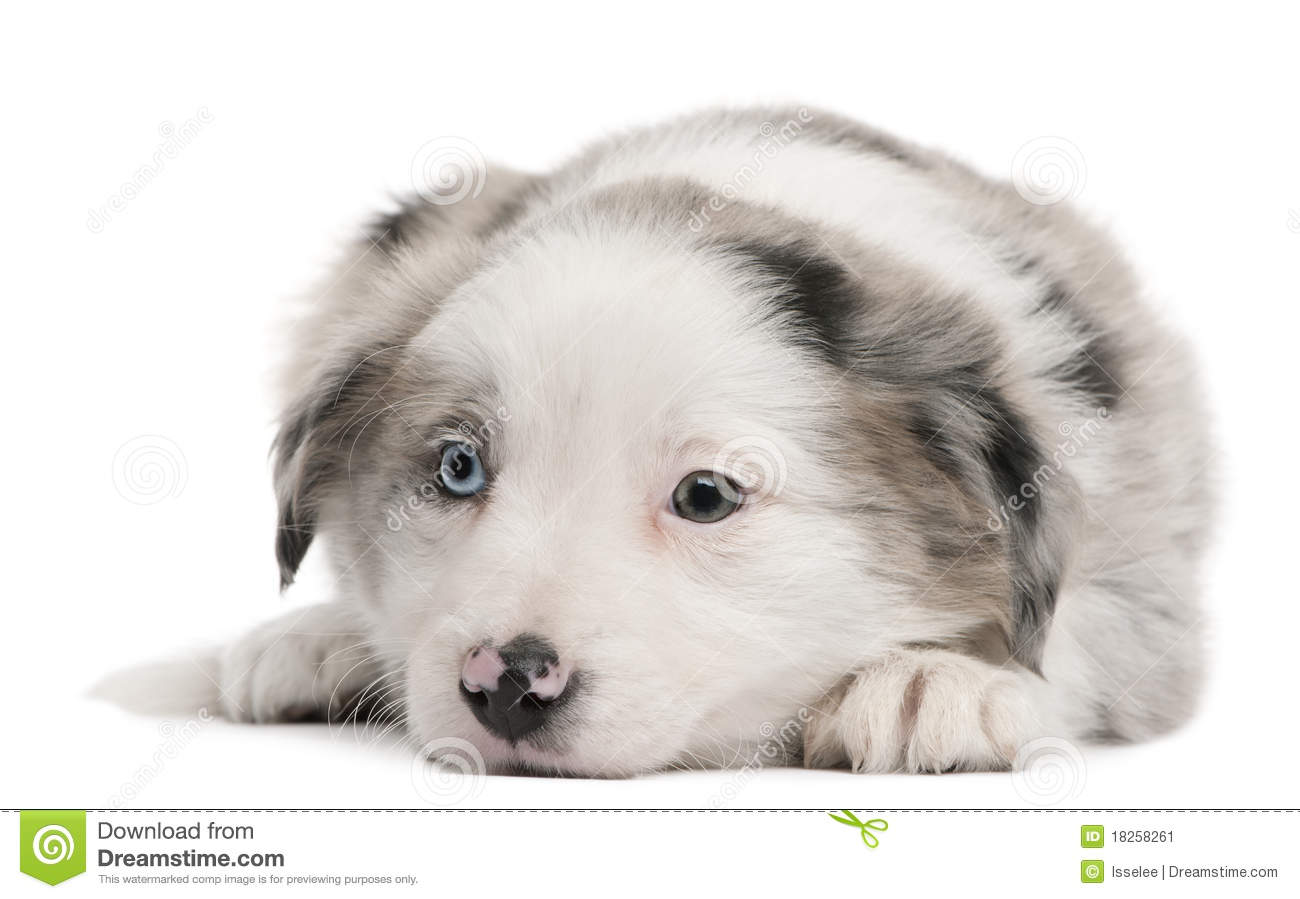 Blue Merle Border Collie Puppies For Sale Images Pictures   Becuo 1300x899