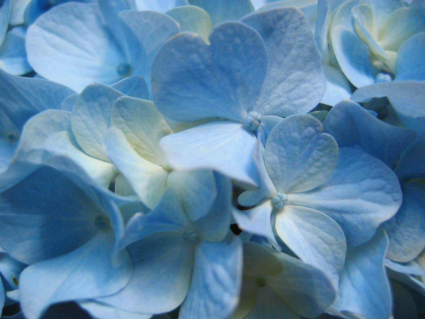 flowers wallpapers blue hydrangea flower close up photography flowers 1400x1050