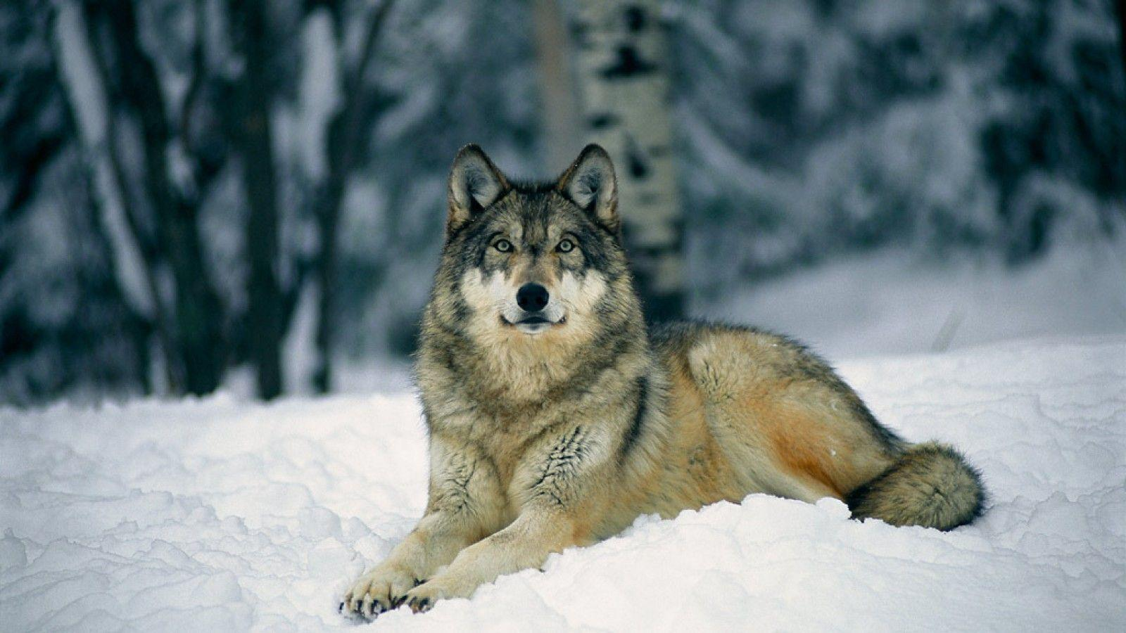Gray Wolf Wallpapers 1600x900