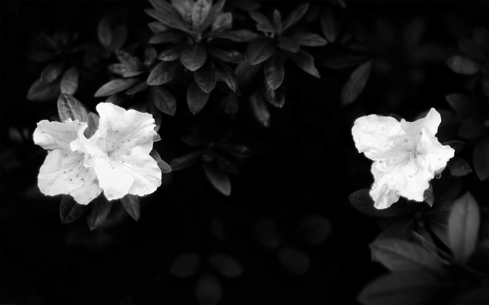 Black and White Wallpapers White Flowers On Black Background 1600x1000
