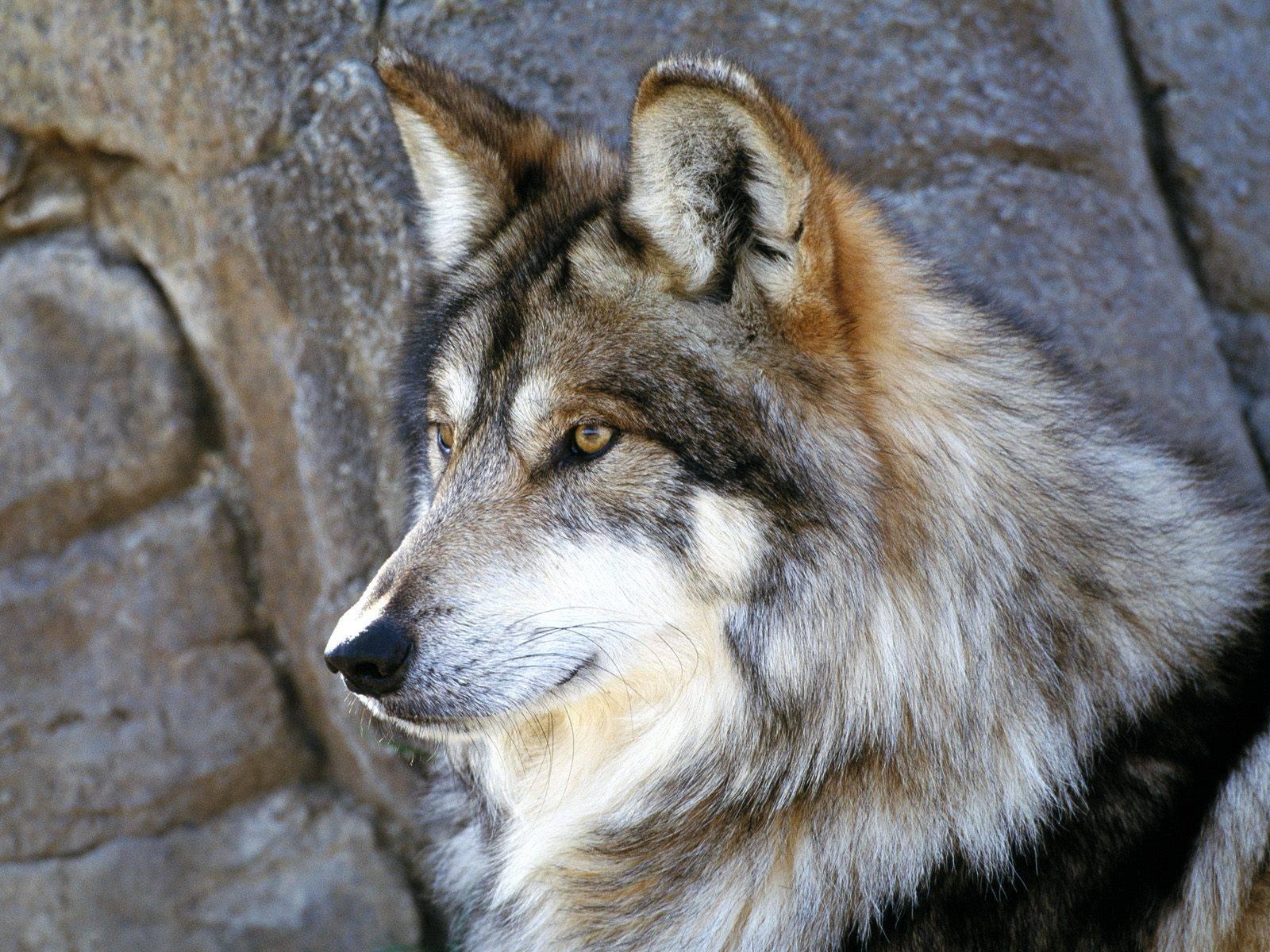 Wolves Wallpaper4 Wolf desktop wallpaper 1600x1200