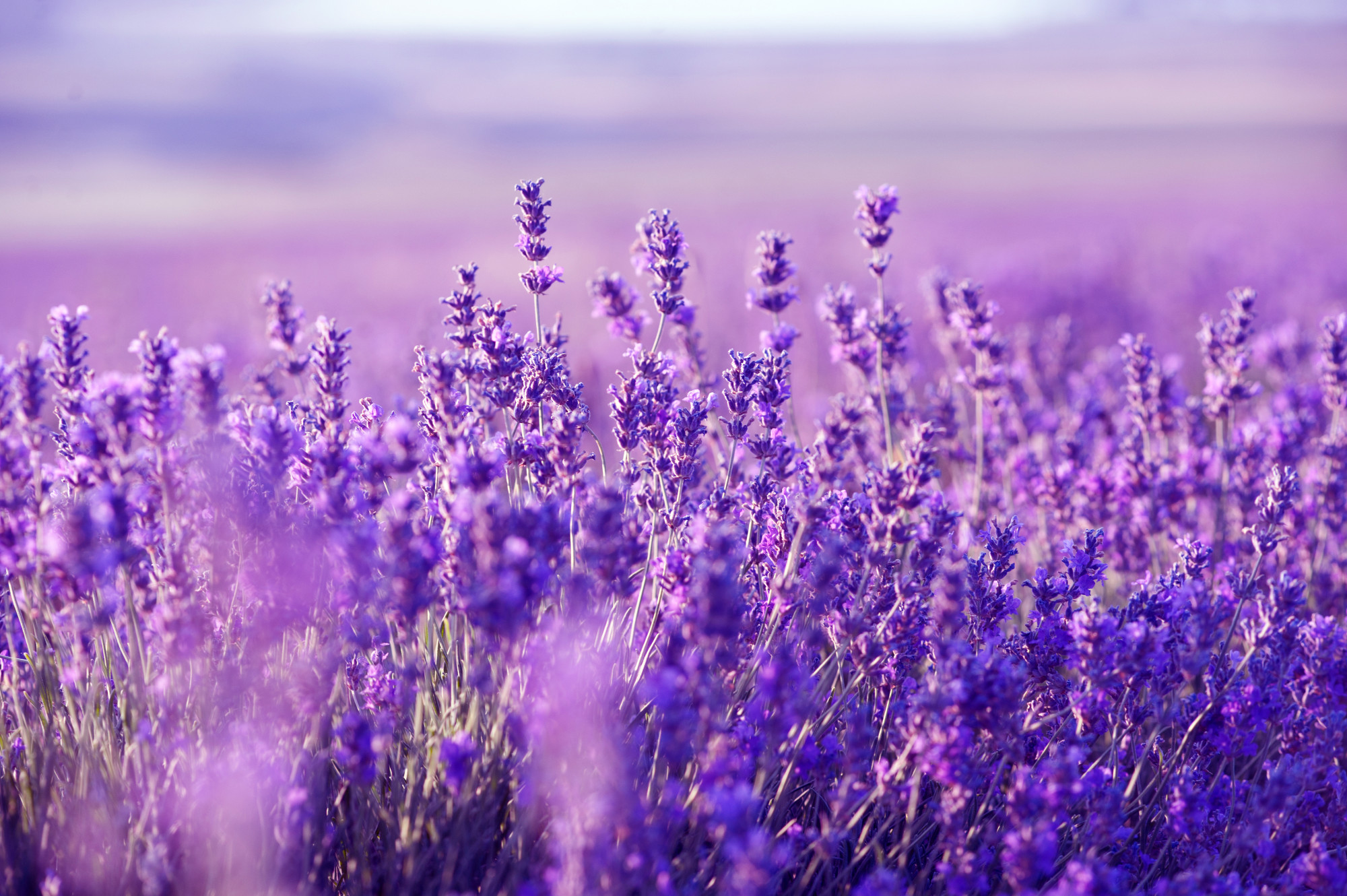 Lavender Wallpapers High Quality Download 2000x1330