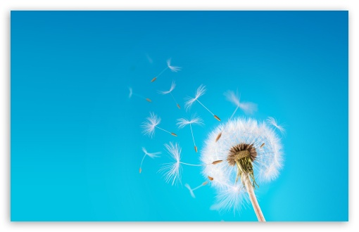 Dandelion wallpaper 510x330