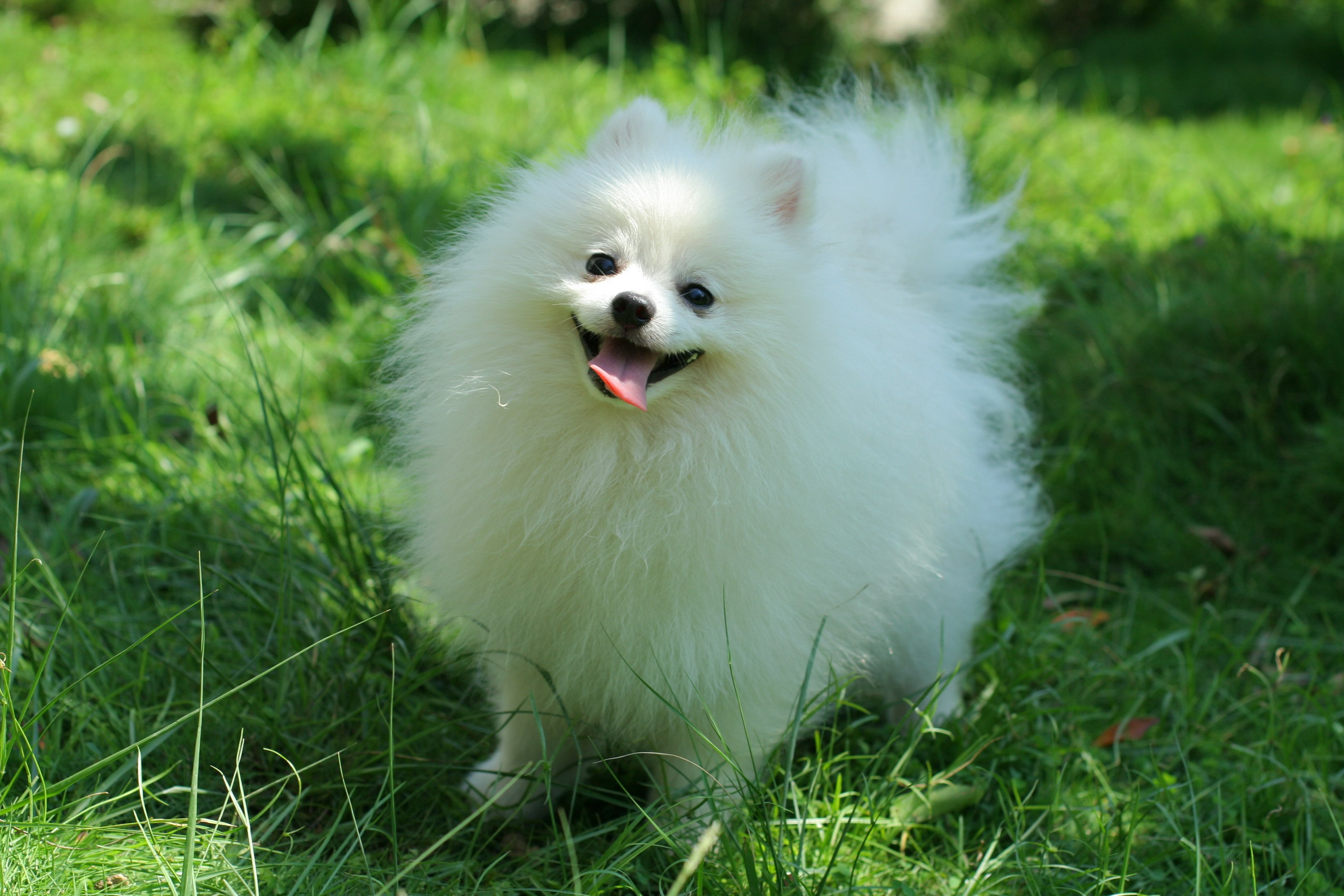 3283x2189px Pomeranian Dog Wallpaper To Download Wallpapersafari