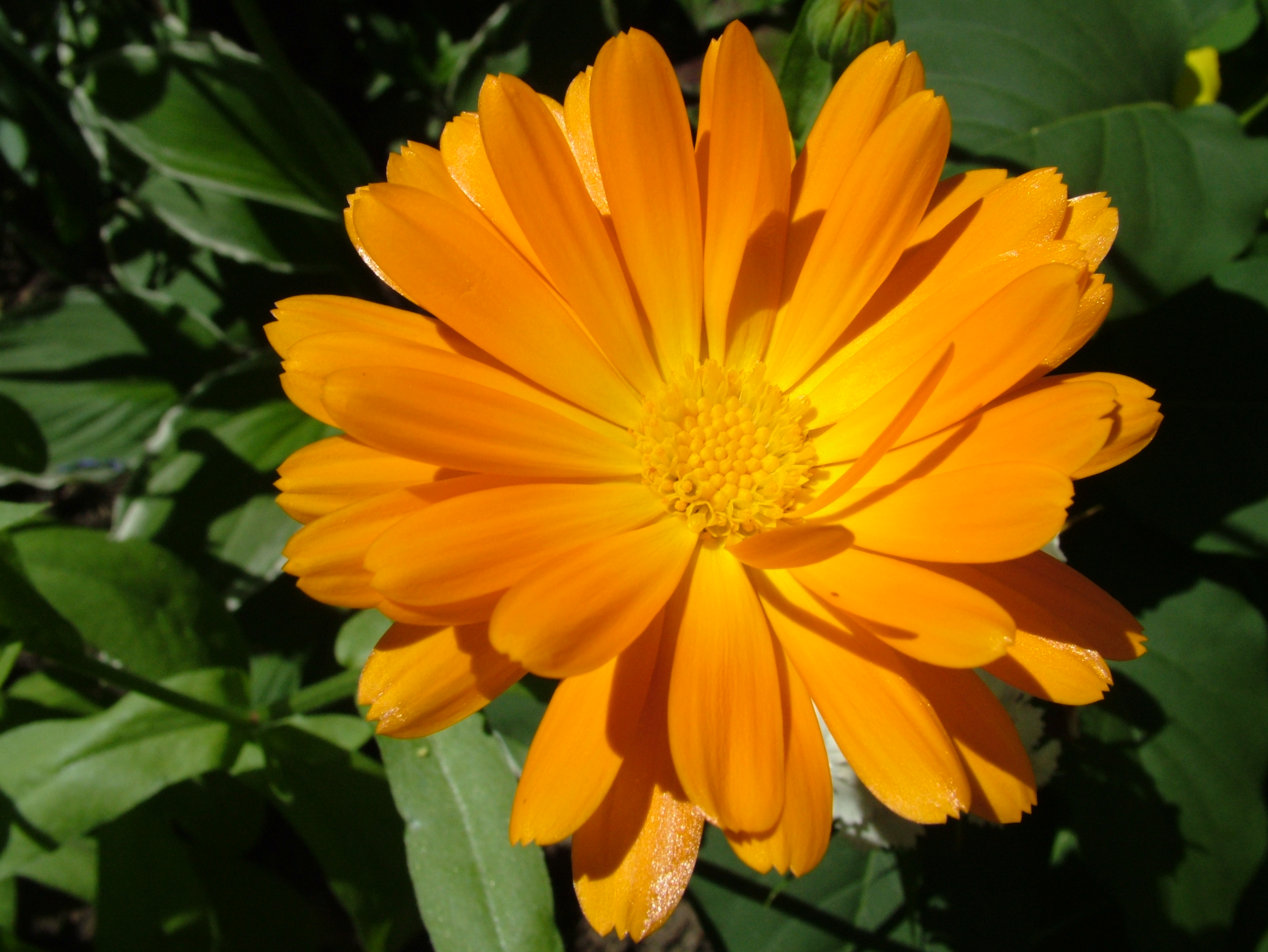 This Image To Download Full Resolution Sunny Orange Flower Photo 4048x3040