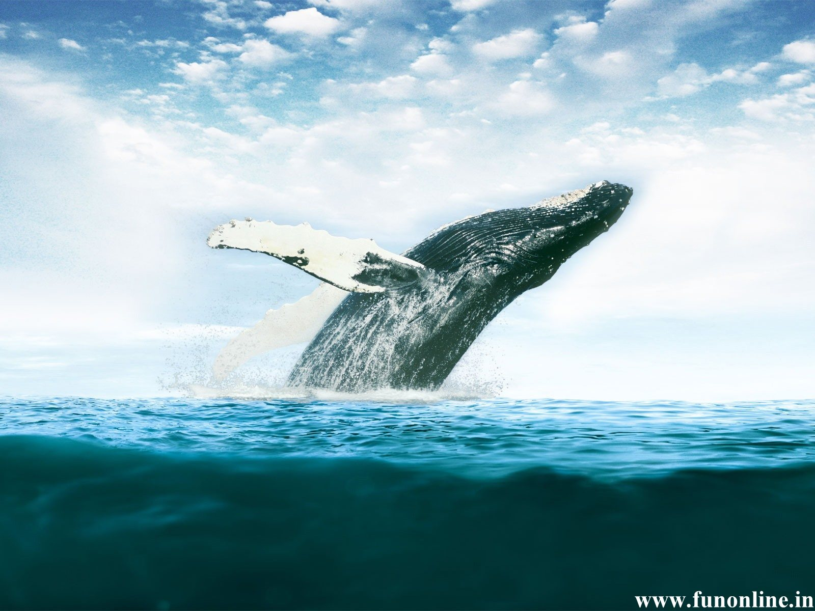 Whale Wallpapers Download Killer and Blue Whales HD Wallpaper 1600x1200