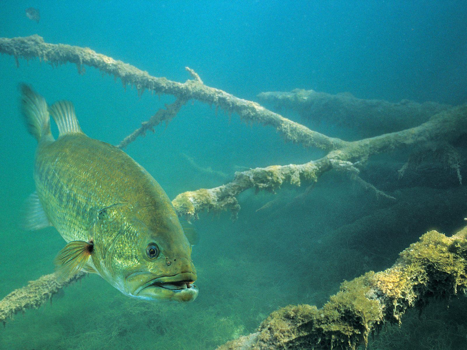 Fish R Bass Fishing Wallpaper 1600x1200