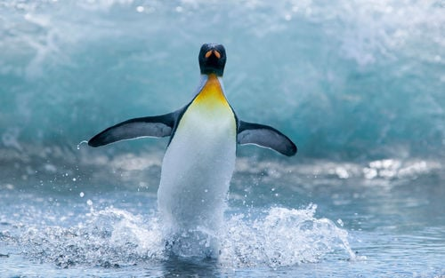 Penguin Running on Water image for iPhone Blackberry iPad 500x313