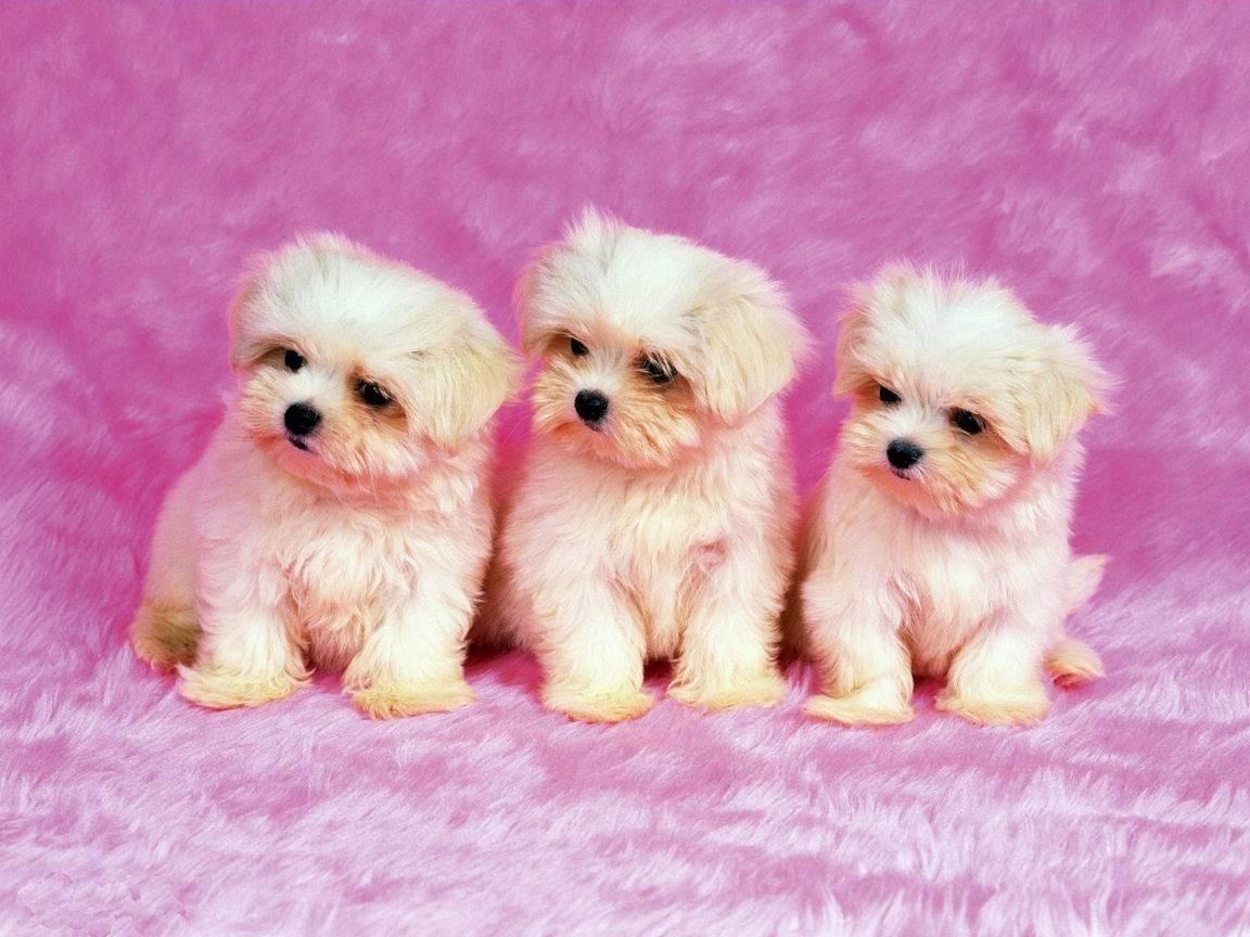 Pics Photos   Images Cute Little Dog Wallpaper Download 1152x864