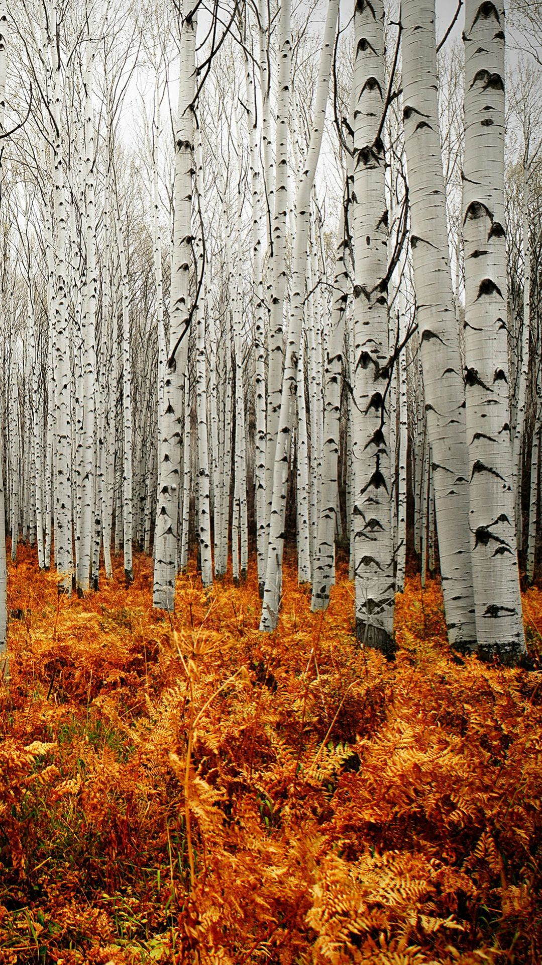 Aspen Tree Wallpaper Aspen Trees In Fall T   Psnsuorg 1079x1919