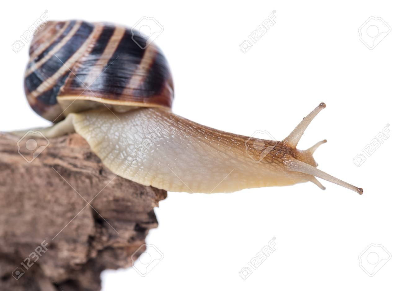 Bright Cute Snail On The Old Stub Isolated Over White Background 1300x941
