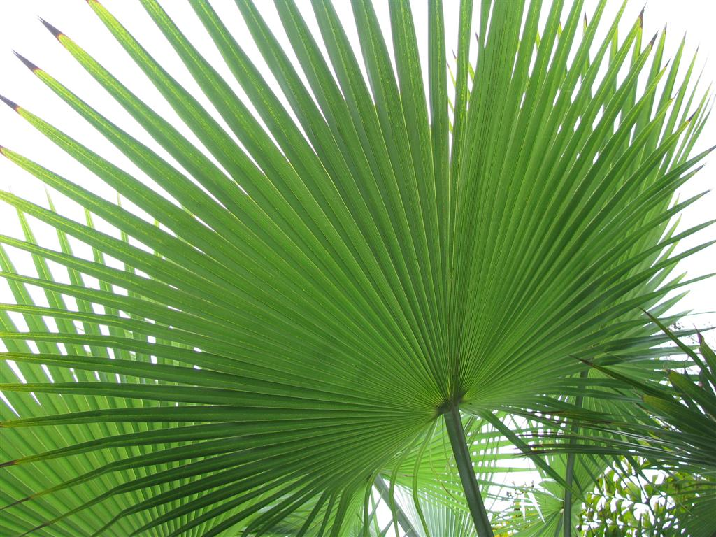Large Palm Leaf Wallpaper Wallpapersafari