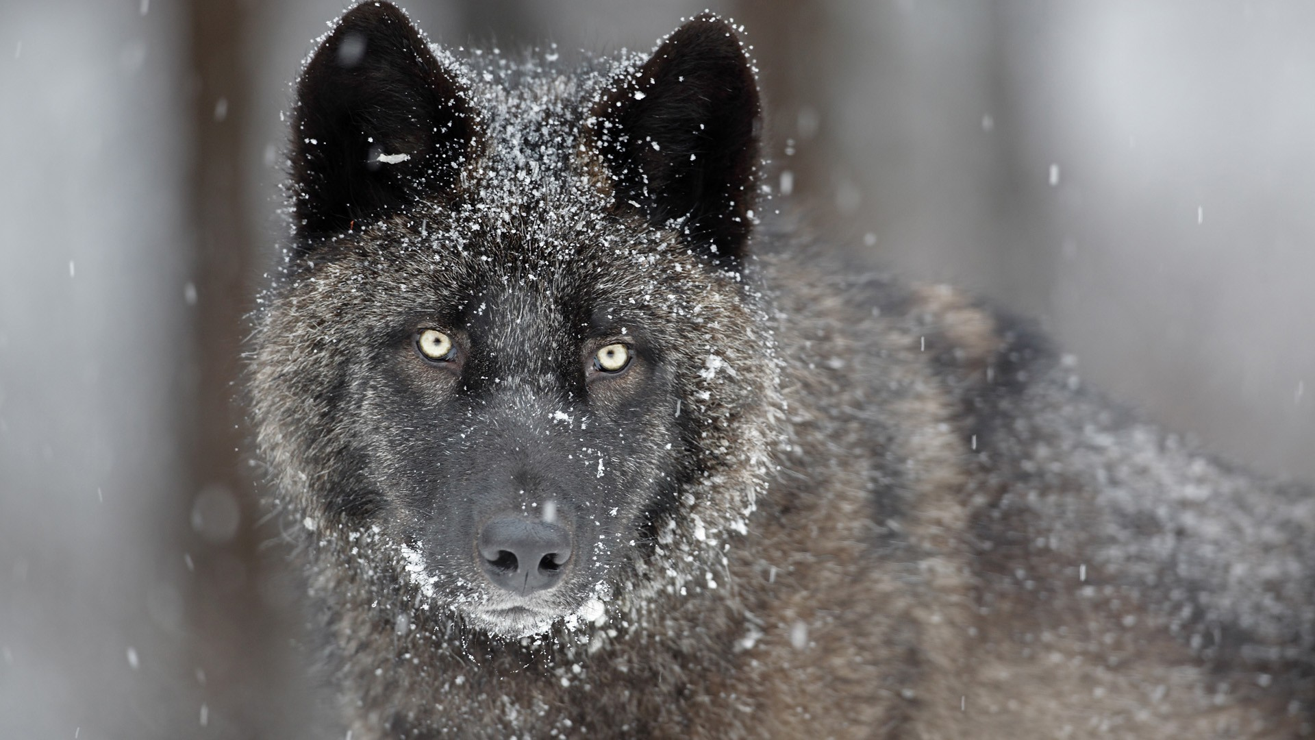 Gray Wolf   Wallpaper 32760 1920x1080