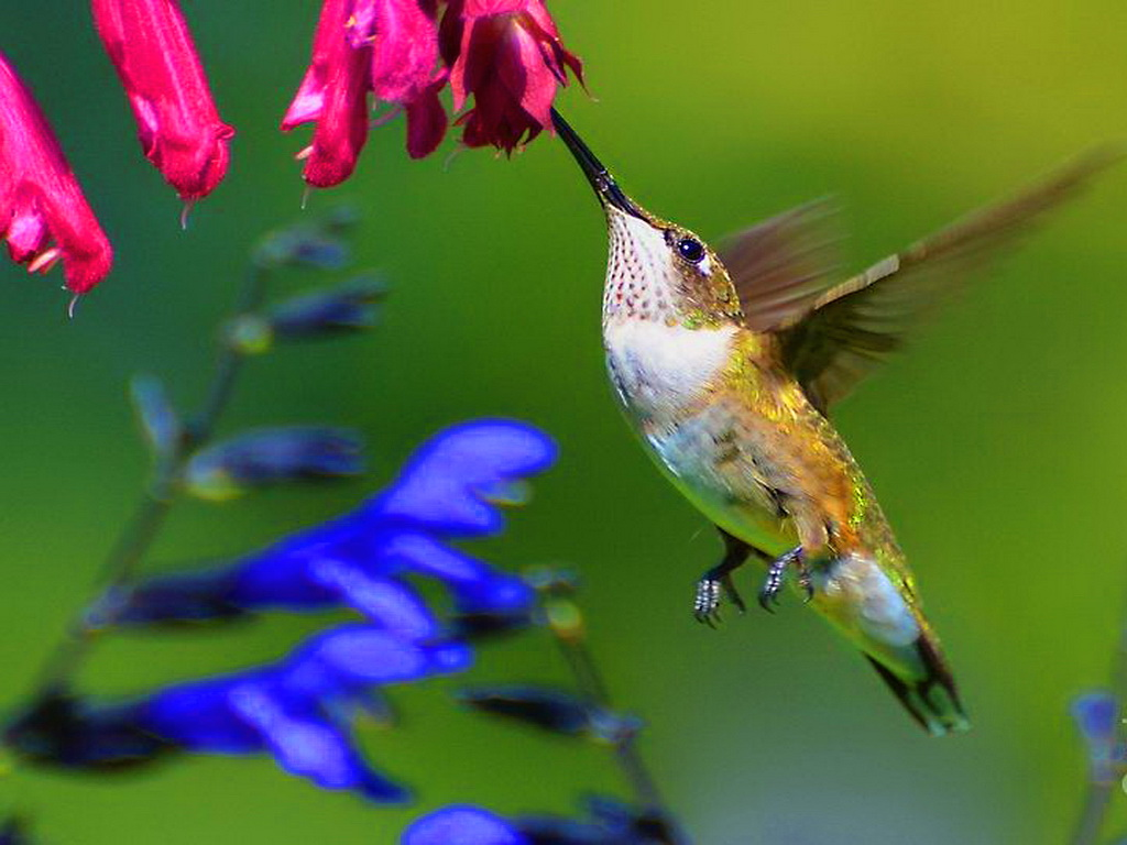 Download Free Hummingbird Wallpapers: [47+] Animated Hummingbird Wallpaper On WallpaperSafari