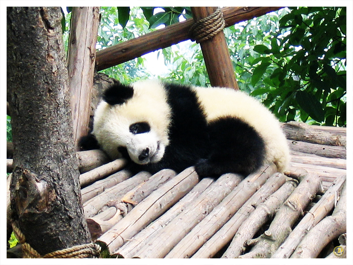 Cute Baby Panda Wallpaper Images Pictures   Becuo 1200x900