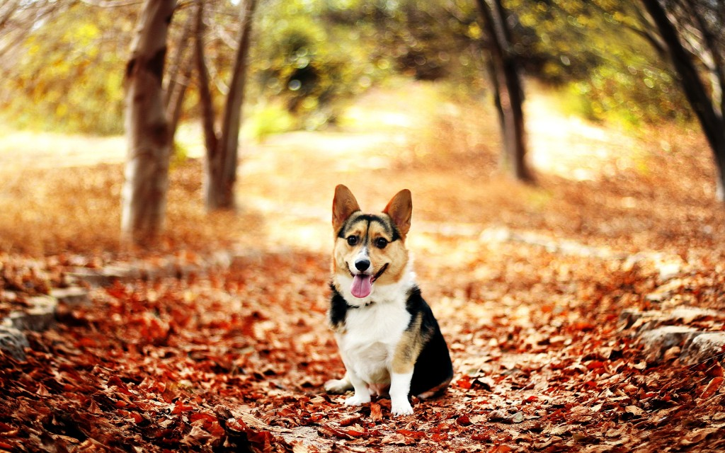 Dog Screensaver and Wallpaper autumn 1024x640jpg 1024x640