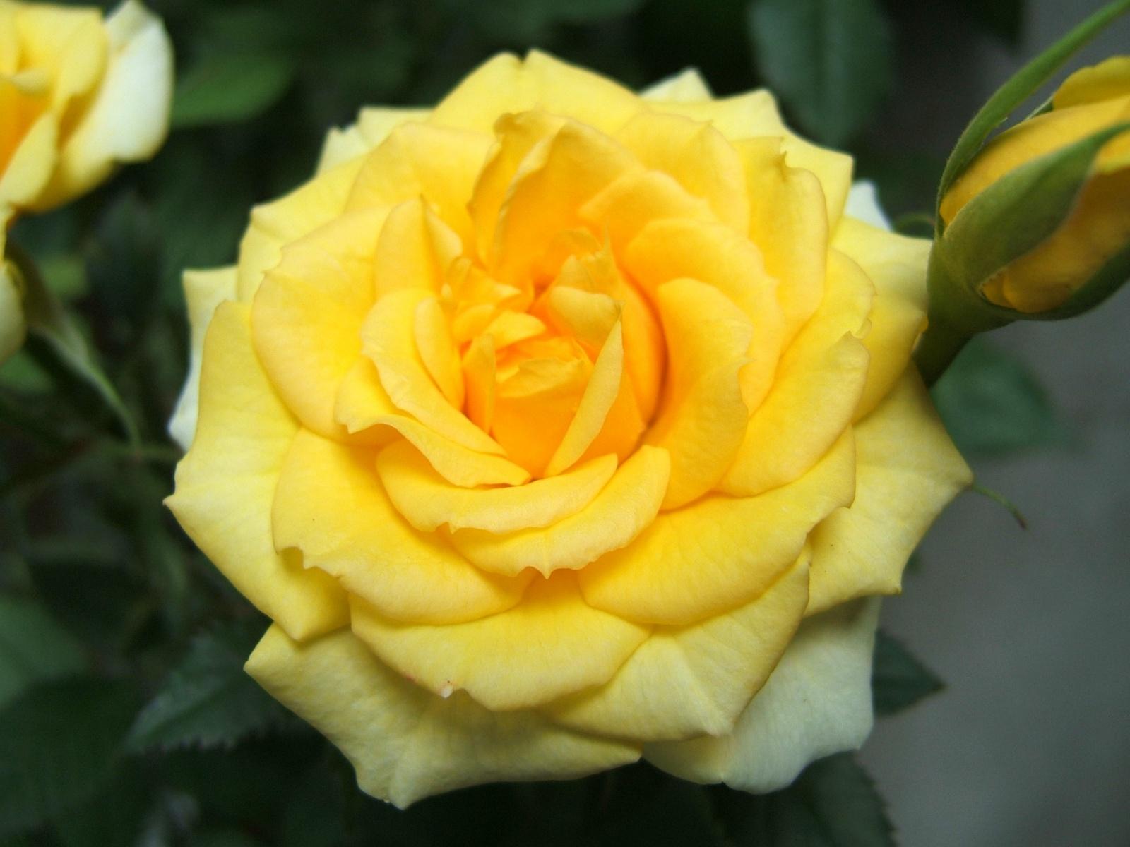 Yellow rose wallpaper wallpapersafari - Hd flower wallpaper rose ...
