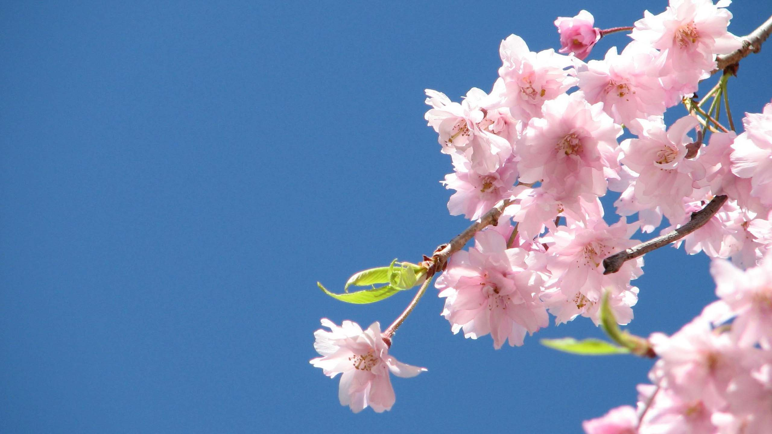 Happy First Day of Spring Cherry Blossoms 2560x1440 Flower 2560x1440