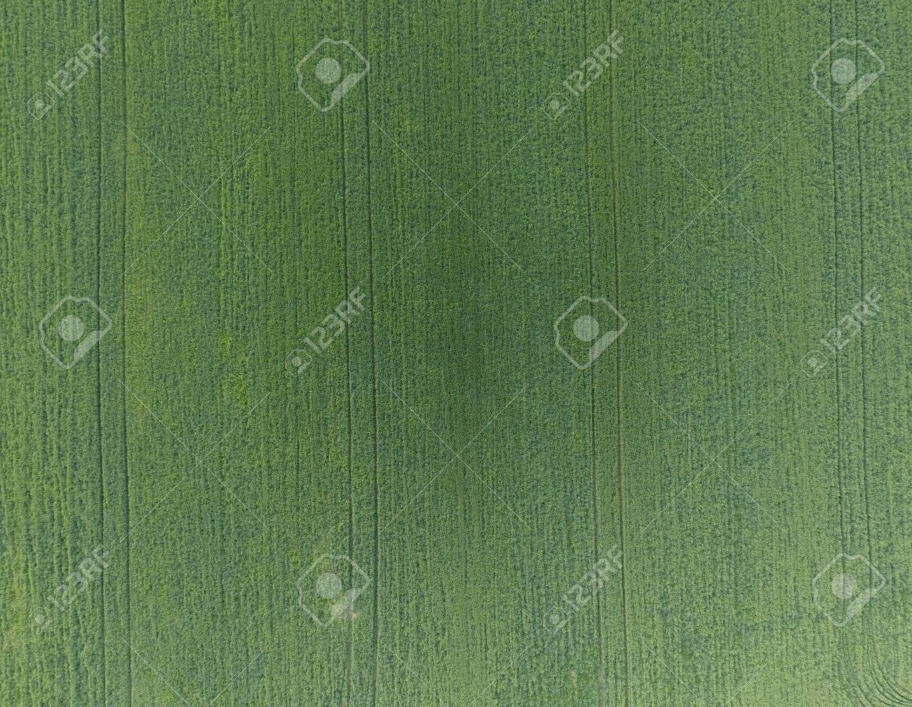 Texture Of Wheat Field Background Of Young Green Wheat On The 1300x1008