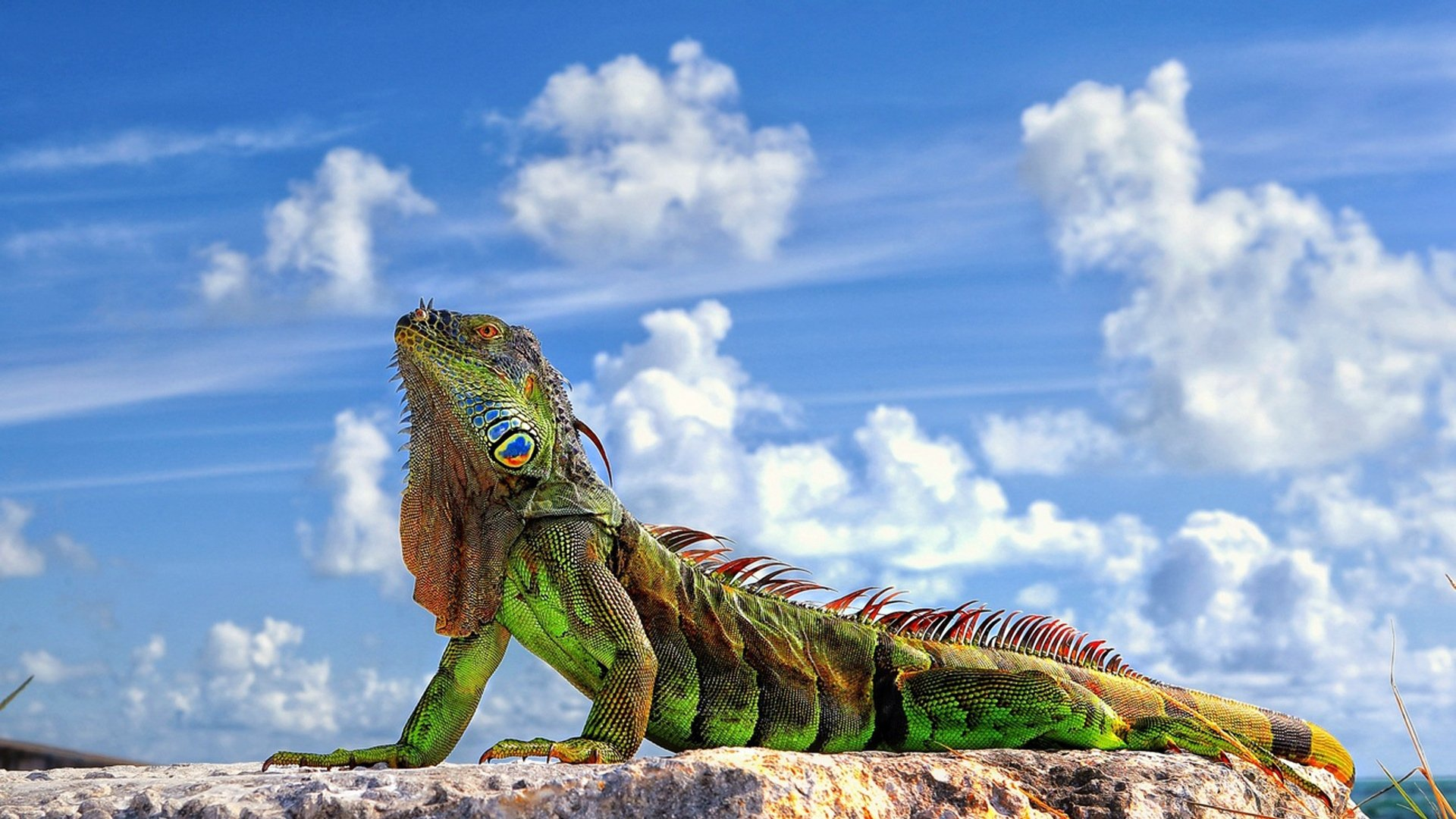 Iguana Wallpapers and Background Images   stmednet 1920x1080