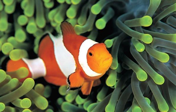 Wallpaper fish clown colorful anemone underwater sea fish clown 596x380