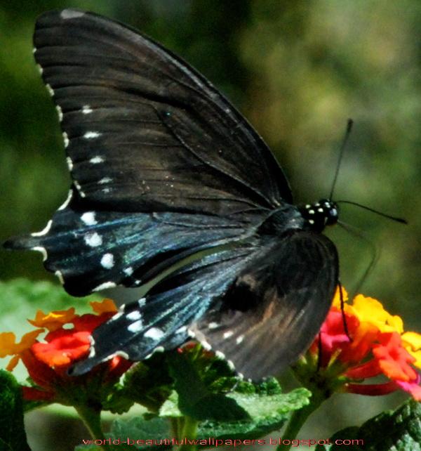 Beautiful Butterflies Wallpaper