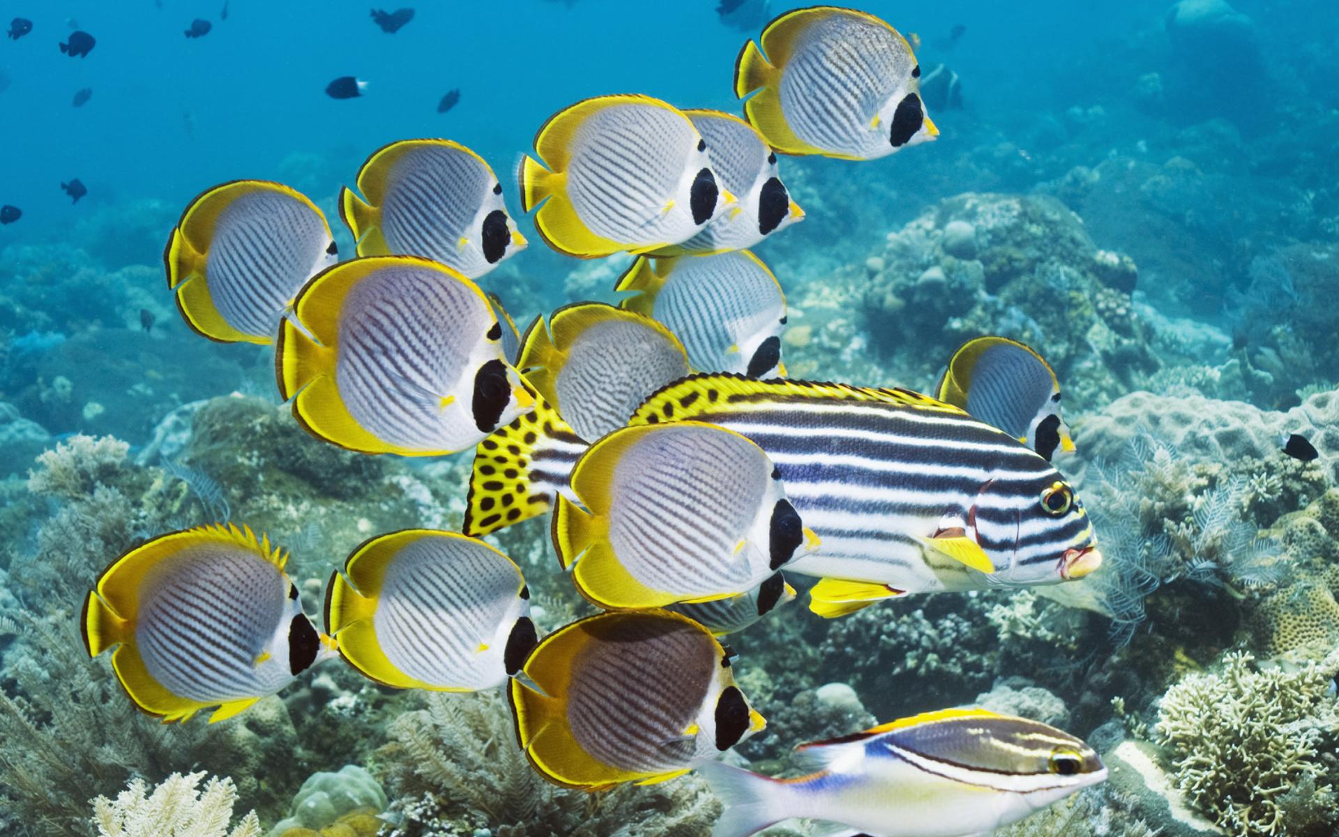 Red fish wallpaper wallpapersafari for Red sea fish