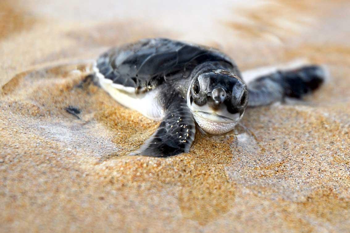 Baby Turtles Wallpaper 1134x756