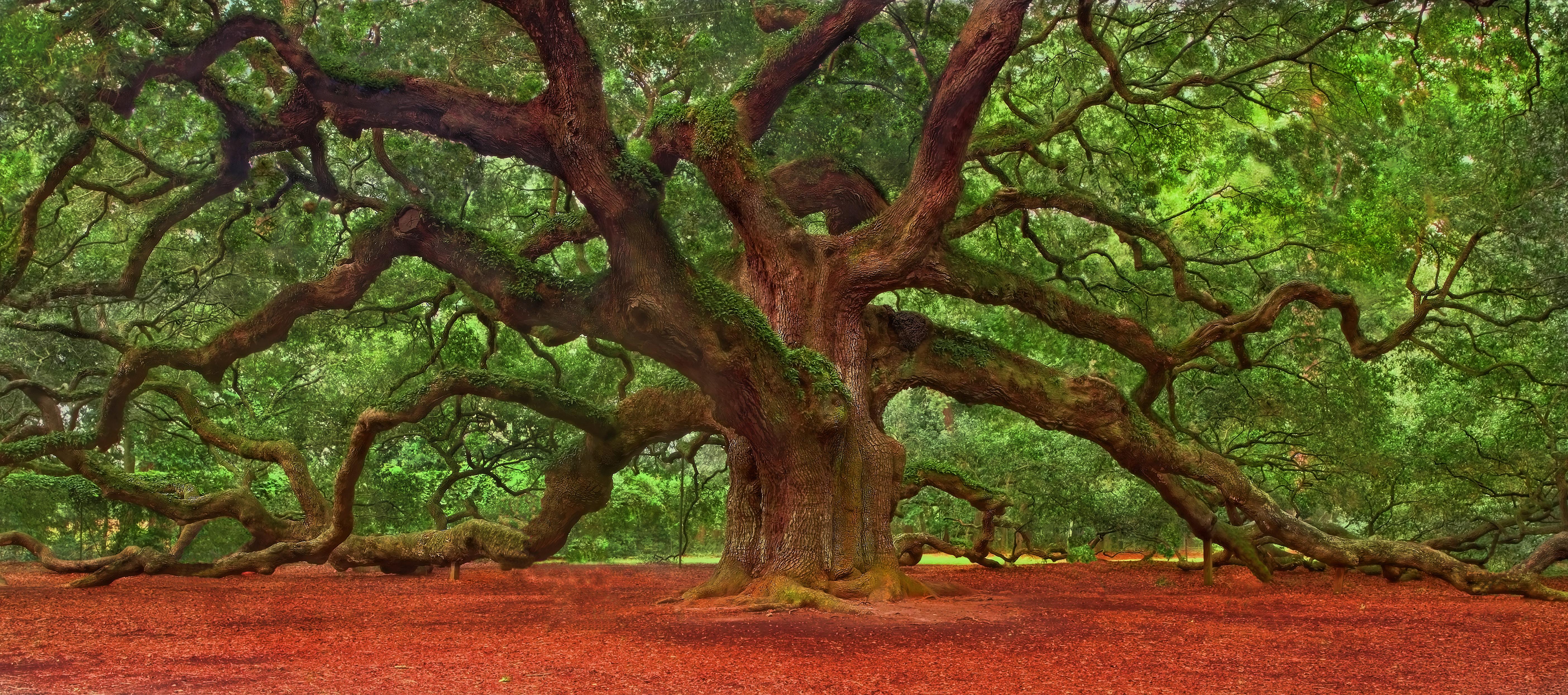 Angel Oak Tree Wallpapers WallpapersIn4knet 5616x2492