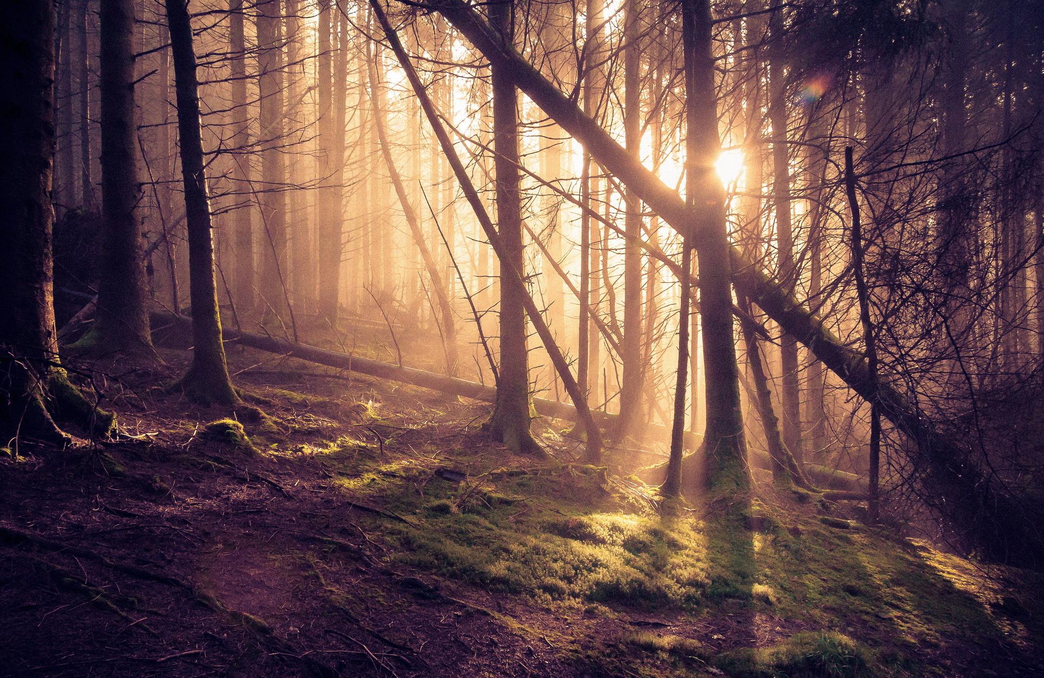Wallpaper forest pine tree tree sun rays desktop wallpaper 2048x1331