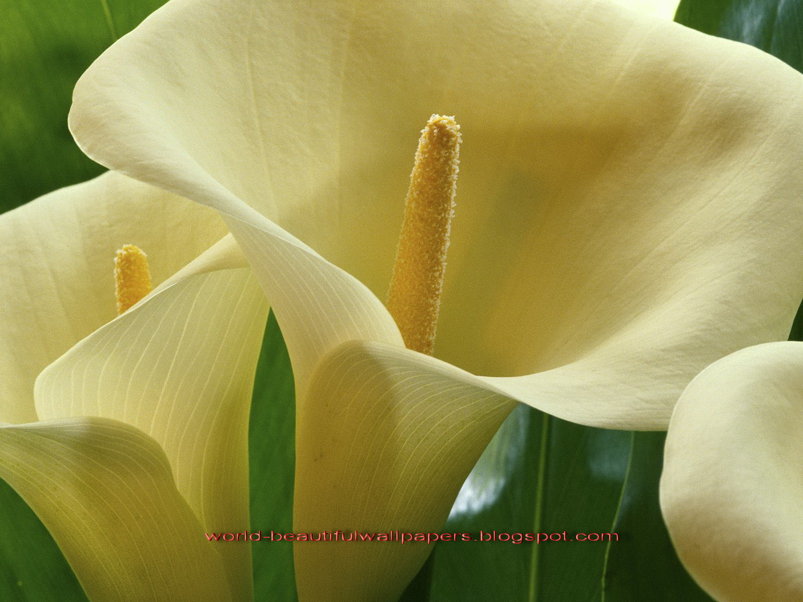 Beautiful Wallpapers calla lily flowers wallpaper 1600x1200