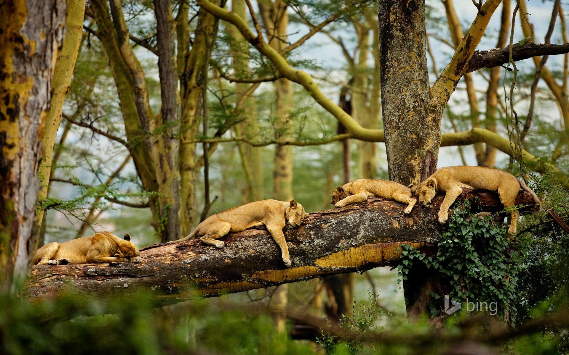 Sleeping Lions Wallpapers in jpg format for download 1920x1200