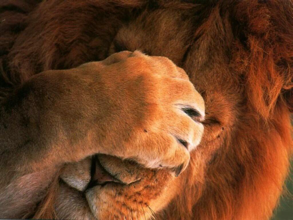 Desktop Wallpaper Animals Live me Alone   Lion 1024x768