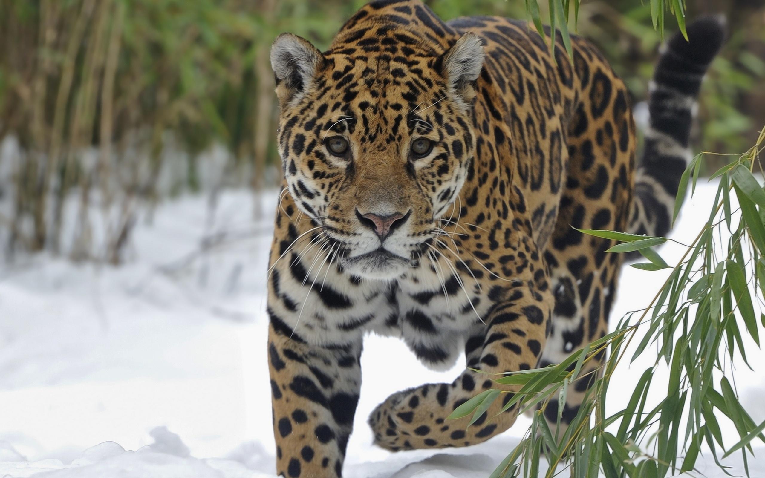 Disney Nature Big Cats