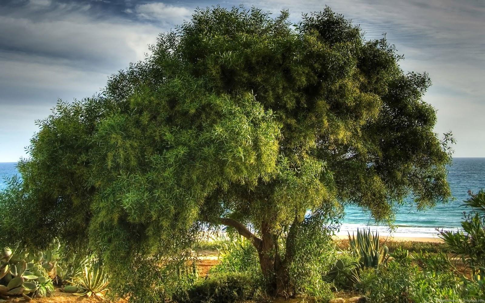 HD Wallpapers Desktop Big Trees HD Wallpapers 1600x1000