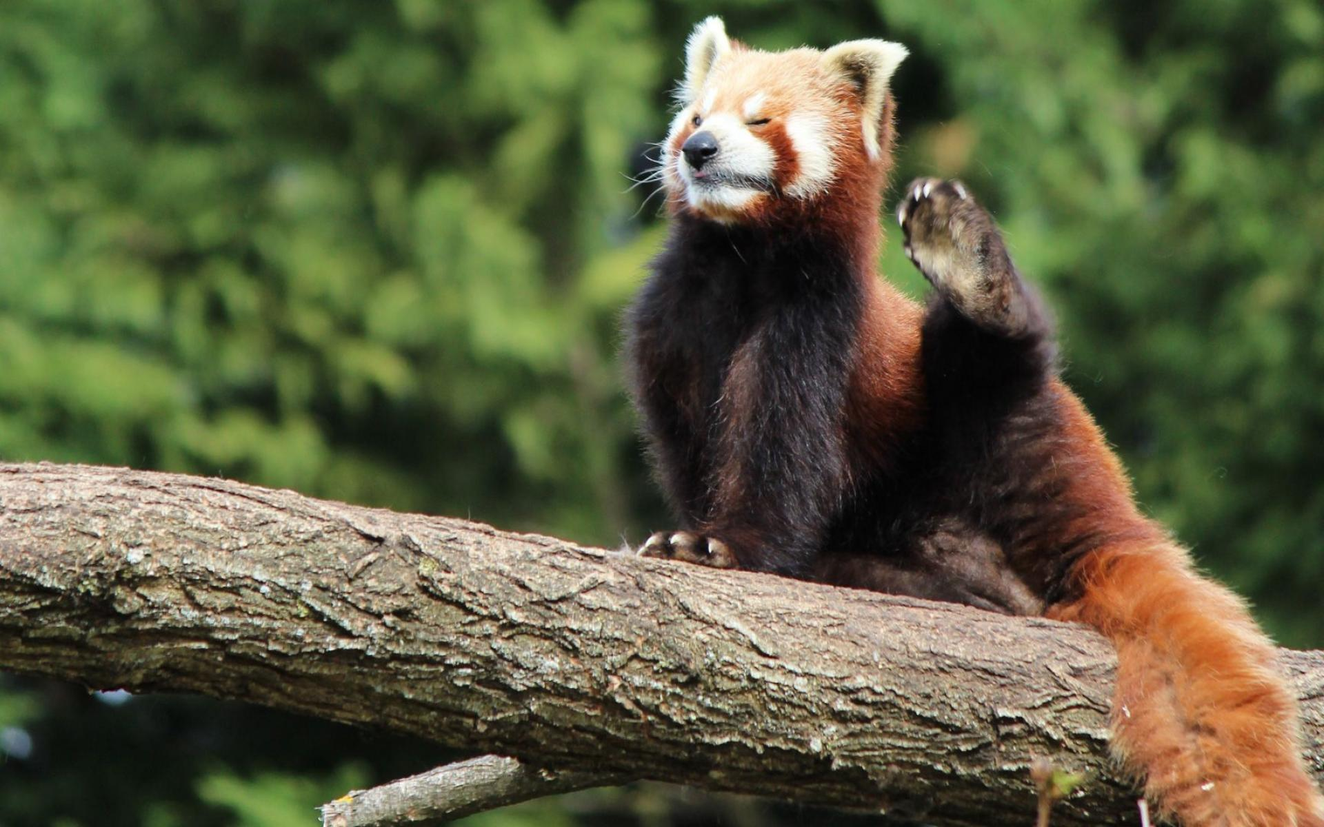 Animal Cute Red Panda HDQ Wallpapers 1920x1200