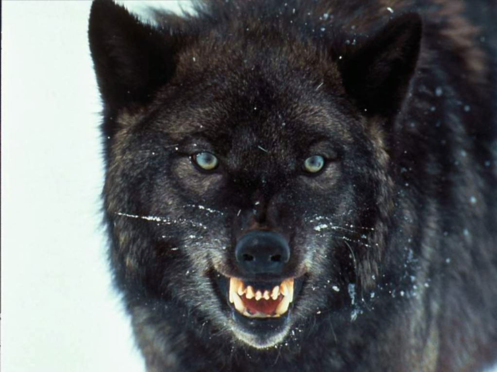 Hd wallpaper wolf - Wolf Wallpaper 10665 Hd Wallpapers In Animals Imagesci Com