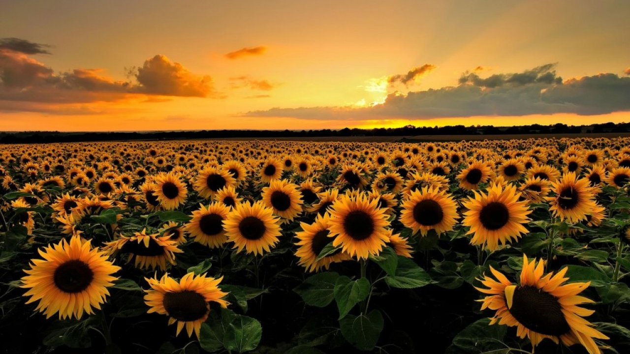 Beautiful Sunflower Field Desktop Background HD Wallpaper 1280x720