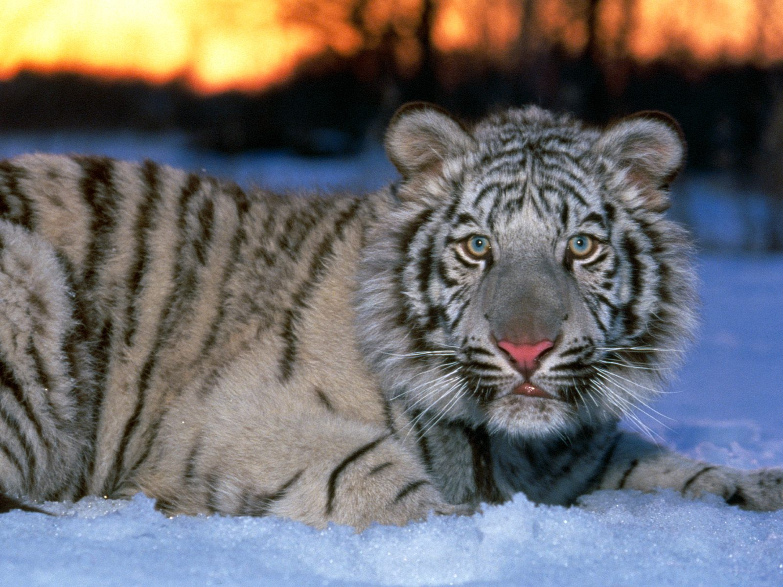 Download White Tiger Cub Wallpapers Pictures Photos and 1600x1200