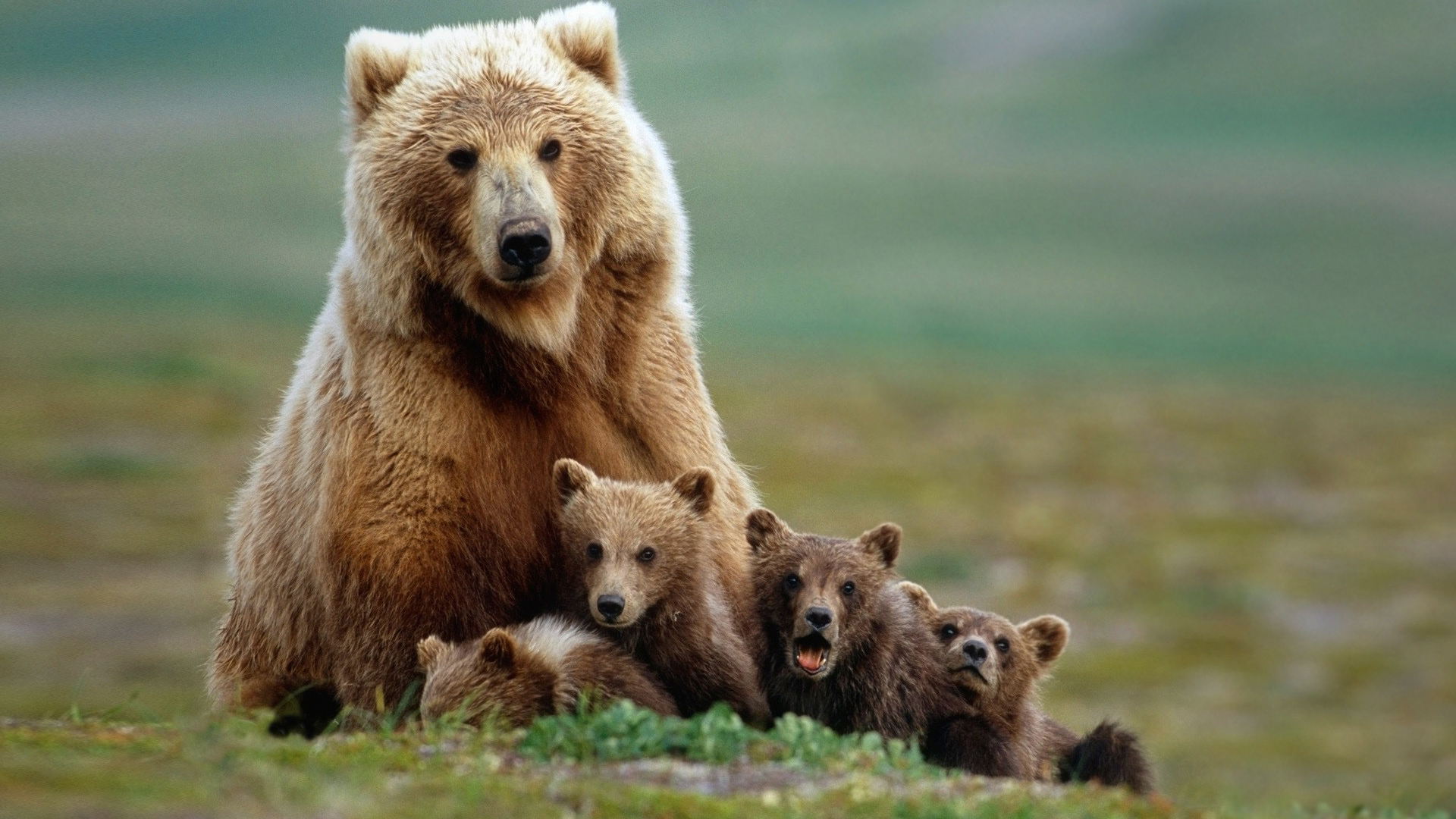 full hd bear family mom and babys photo wallpaper 1080p 1920x1080
