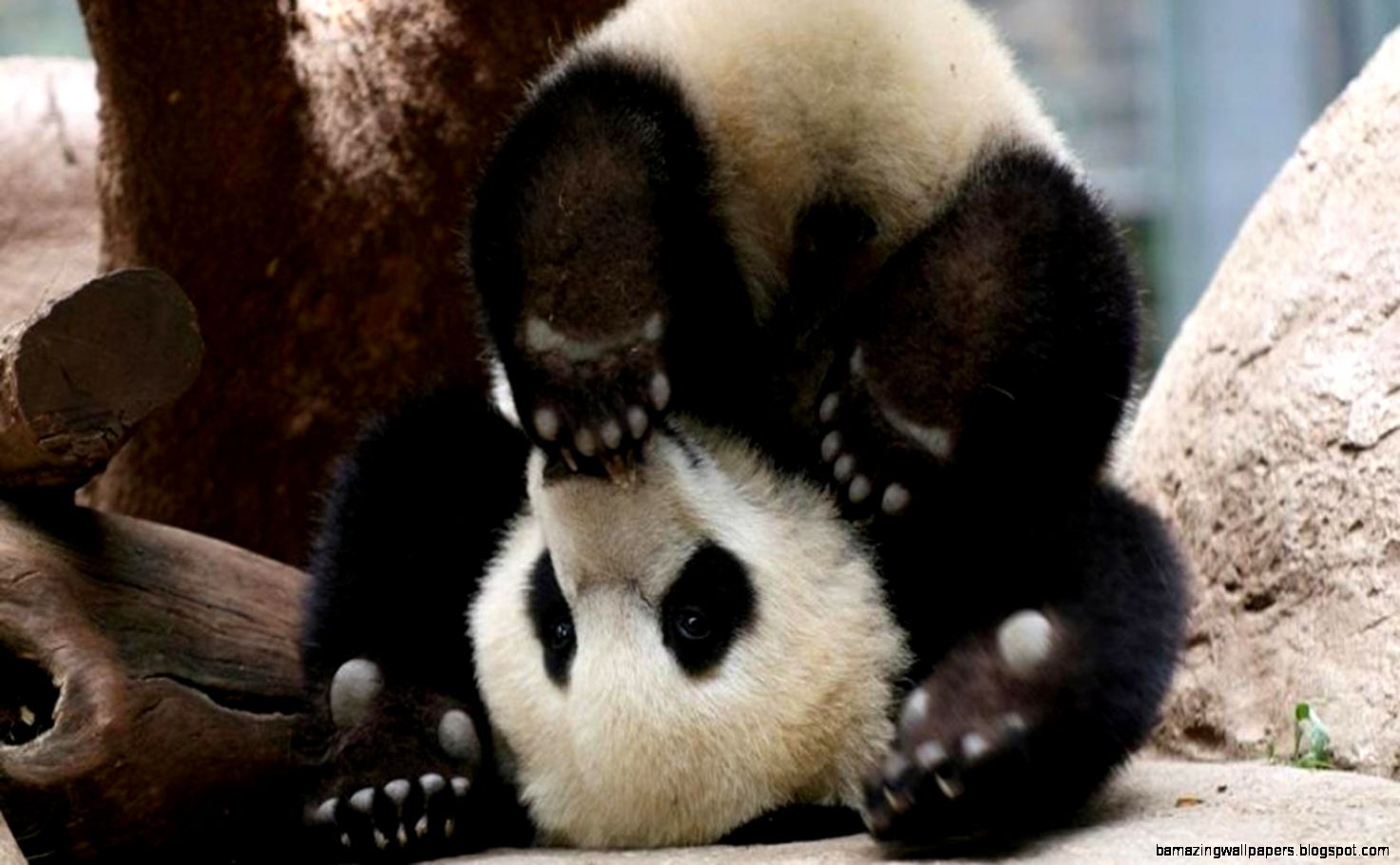 Baby Panda Bear Amazing Wallpapers 1473x910