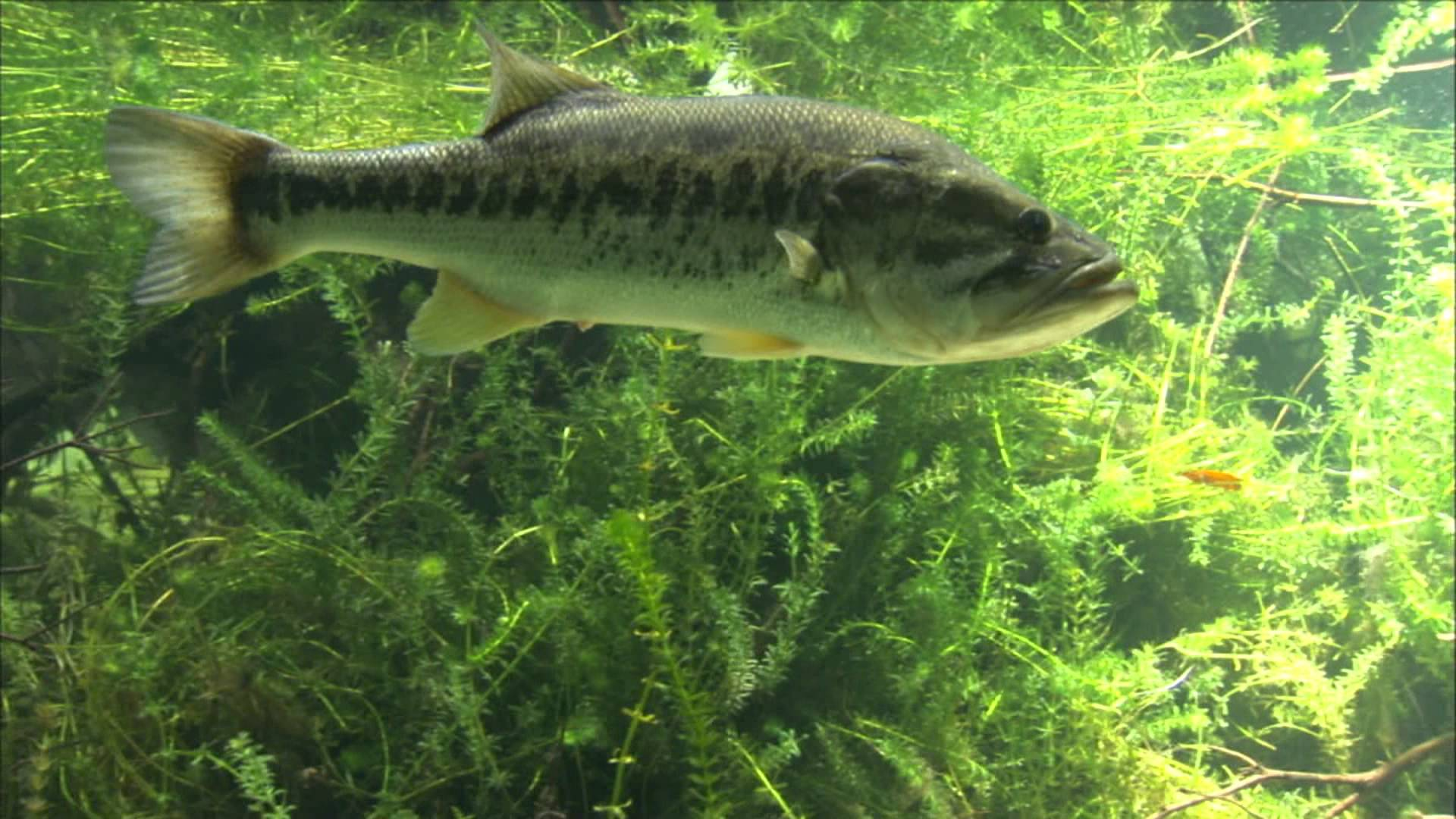 Largemouth Bass Wallpapers 1920x1080