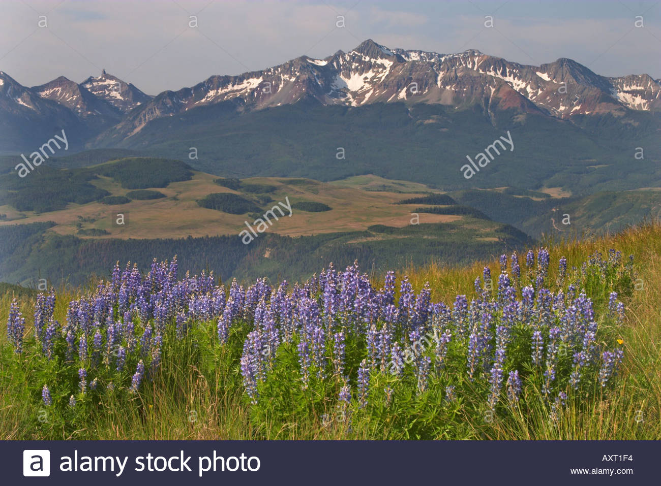 A large group of Lupines with snow capped mountains in the 1300x957