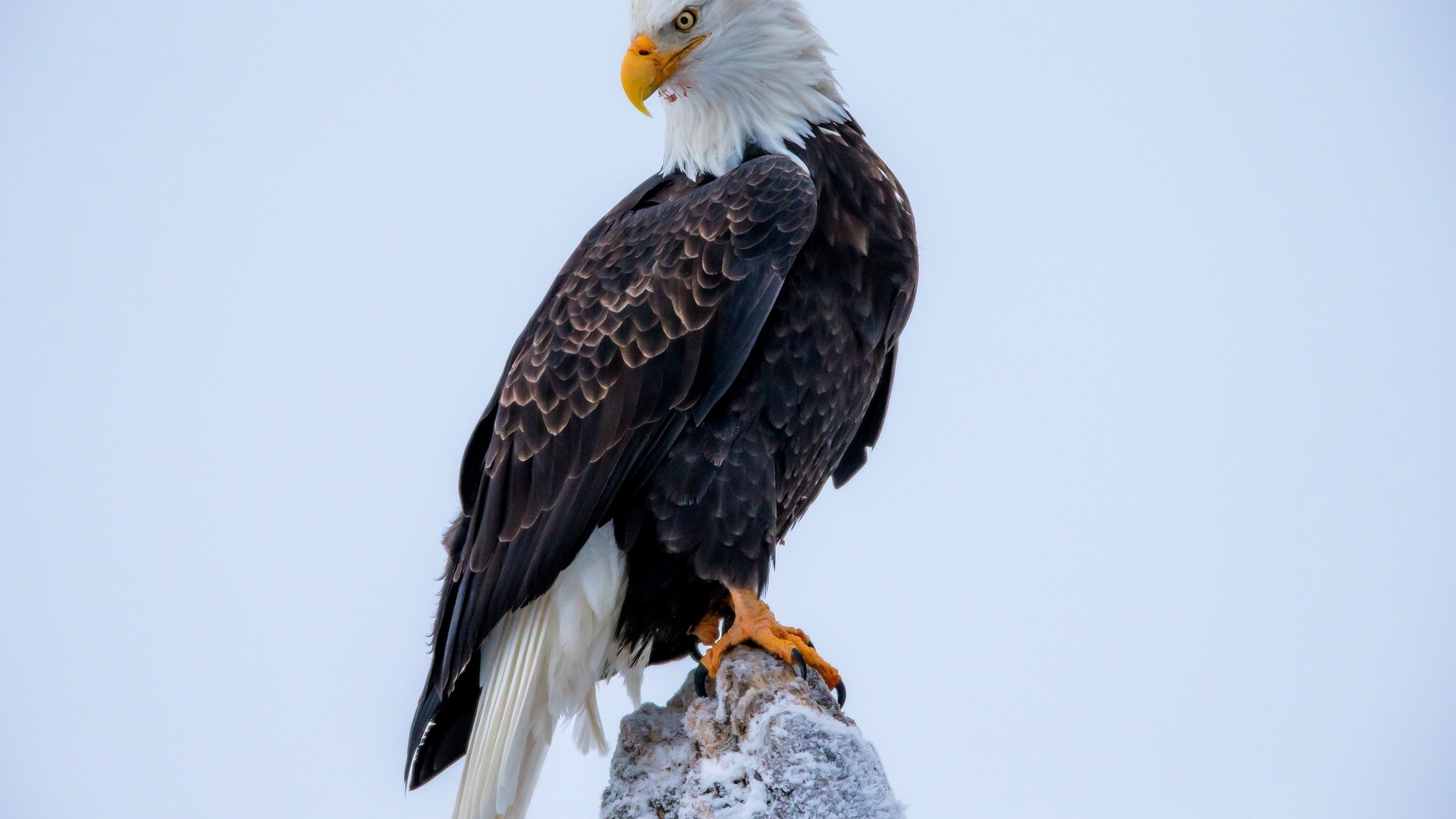 Wallpaper Rock eagle American Bald Eagle 1920x1080