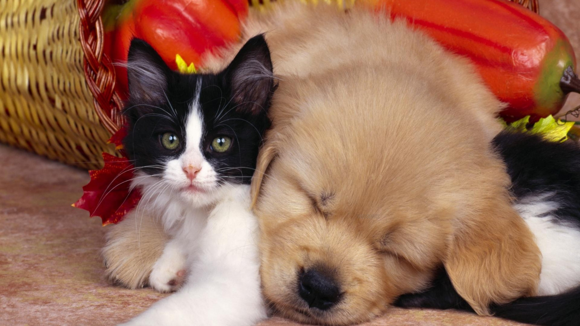 Cute dog and cat Animals Wallpaper Background 1920x1080   Fondo hd 1920x1080